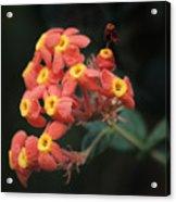 Rubiaceae Acrylic Print