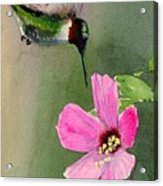 Ruby Breasted Humming Bird Acrylic Print