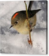 Ruby-crowned Kinglet Acrylic Print