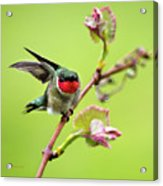 Ruby Garden Hummingbird Acrylic Print