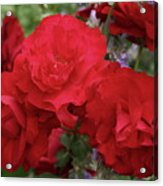 Ruby Red Acrylic Print