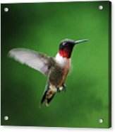 Ruby Red Throated Hummingbird Acrylic Print