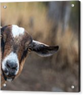 Ruby The Goat Acrylic Print