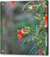 Ruby Throated Flowers Acrylic Print