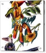 Ruby Throated Humming Bird Audubon Birds Of America 1st Edition 1840 Octavo Plate 253 Acrylic Print