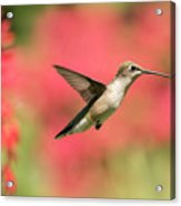 Ruby Throated Hummingbird 2016-6 Acrylic Print