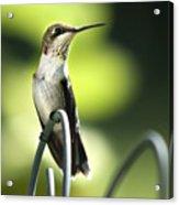 Ruby-throated Hummingbird Acrylic Print by Christina Rollo