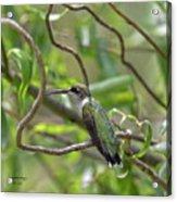 Ruby-throated Hummingbird - Female Acrylic Print