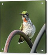 Ruby-throated Hummingbird Acrylic Print