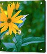 Rudbeckia Flowers In Bloom Acrylic Print
