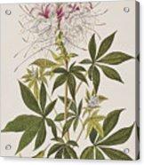 Ruff-necked Hummingbird Acrylic Print
