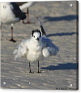 Ruffled Feathers Acrylic Print