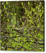 Ruffled Grouse Acrylic Print