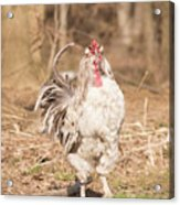 Ruffled Rooster Acrylic Print