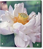 Ruffly Lotus Acrylic Print