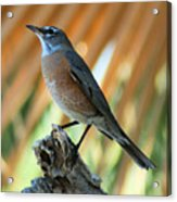 Rufous-backed Robin Acrylic Print