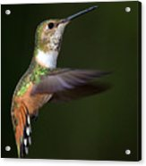 Rufous Hummingbird In Flight Acrylic Print