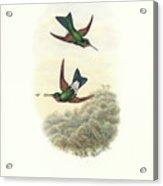 Rufous-webbed Brilliant Hummingbird Heliodoxa Branickii Acrylic Print