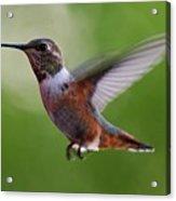Rufus Hummingbird In Flight Acrylic Print