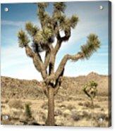 Rugged Joshua Tree Acrylic Print