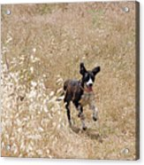 Run Puppy Run Acrylic Print