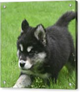 Running Alusky Puppy Dog Stretching Out His Stride Acrylic Print