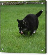 Running Alusky Puppy Licking His Nose With A Pink Tongue Acrylic Print