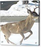 Running Buck Acrylic Print by Monica Engeler