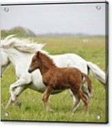 Running Horses.... Acrylic Print by Gigja Einarsdottir