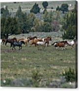 Running Wild Horses  Acrylic Print