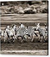 Running Zebras, Serengeti National Acrylic Print by Carson Ganci