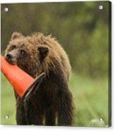 Runway Bear 2012 Acrylic Print
