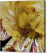 Russet And Umber Iris Acrylic Print