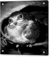 Rusted Perch - Baby Barn Swallow  Acrylic Print