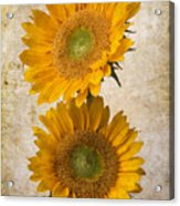Rustic Sunflowers Acrylic Print