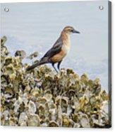 Rusty Blackbird #6 Acrylic Print