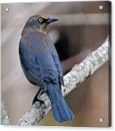 Rusty Blackbird Acrylic Print