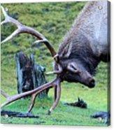Rutting Bull Elk Acrylic Print