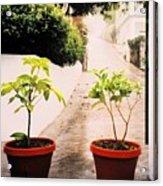 Saba Acrylic Print