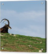 Sable Antelope On Hill Acrylic Print