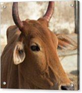 Sacred Cow Acrylic Print