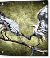 Sacred Ibis Photobombing Acrylic Print