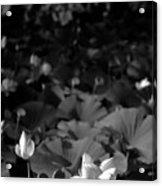 Sacred Lotus #2.    Black And White Acrylic Print