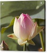 Sacred Lotus - Nelumbo Acrylic Print