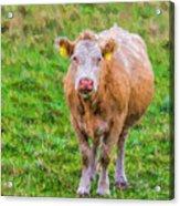 Sad Cow - Painterly Acrylic Print