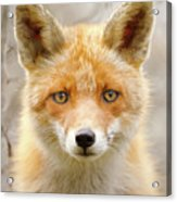 Sad Eyed Fox Of The Lowlands - Red Fox Portrait Acrylic Print