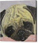 Snugly  Pug Acrylic Print
