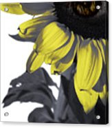 Sad Sunflower Acrylic Print
