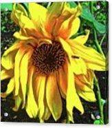 Sad Sunflower Acrylic Print