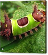 Saddleback Caterpillar Acrylic Print
